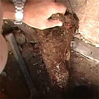 removing tree roots from a toilet drain in Woden